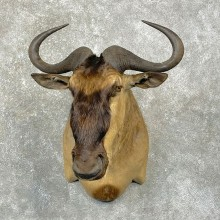 White-Bearded Wildebeest Taxidermy Shoulder Mount For Sale