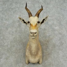 White Blesbok Shoulder Mount For Sale #16717 @ The Taxidermy Store