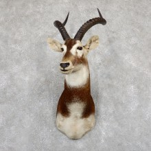 White-Eared Kob Taxidermy Shoulder Mount For Sale #19500 @ The Taxidermy Store