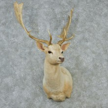 White Fallow Shoulder Taxidermy Head Mount #12842 For Sale @ The Taxidermy Store