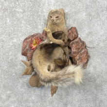 White-tailed Mongoose Taxidermy Mount For Sale