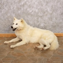 Alaskan White Wolf Life-Size Taxidermy Mount For Sale