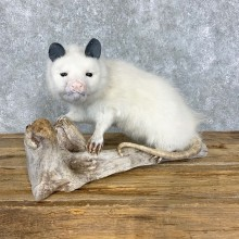 White Opossum Taxidermy Mount For Sale #23470 @ The Taxidermy Store