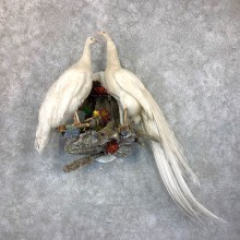 White Peacock Pair Taxidermy Mount For Sale #23724 @ The Taxidermy Store
