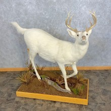 White Phase Whitetail Deer Life Size Taxidermy Mount #23314 For Sale @ The Taxidermy Store