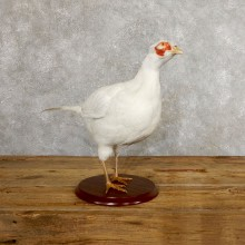 White Pheasant Bird Mount For Sale #19750 @ The Taxidermy Store
