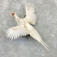 White Pheasant Bird Mount For Sale #22563 @ The Taxidermy Store