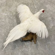 White Pheasant Taxidermy Bird Mount For Sale