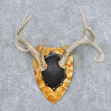 Whitetail Deer Antler Plaque Taxidermy Mount #13849 For Sale @ The Taxidermy Store
