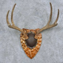 Whitetail Deer Antler Plaque Taxidermy Mount #13855 For Sale @ The Taxidermy Store