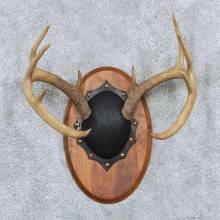 Whitetail Antler Plaque Mount For Sale #13884 For Sale @ The Taxidermy Store