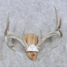 Whitetail Deer Skull Antler Taxidermy Mount For Sale #13942 For Sale @ The Taxidermy Store