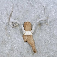 Whitetail Deer Antler Taxidermy Mount For Sale #13943 For Sale @ The Taxidermy Store