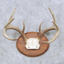 Whitetail Deer Antler Taxidermy Mount For Sale #13945 For Sale @ The Taxidermy Store