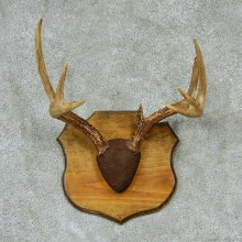 Whitetail Deer Antlers Plaque Taxidermy Mount #13269 For Sale @ The Taxidermy Store