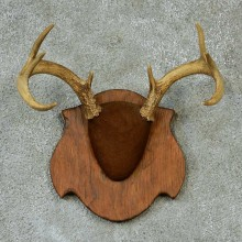 Whitetail Deer Antlers Plaque Taxidermy Mount #13270 For Sale @ The Taxidermy Store