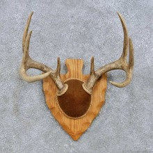 Whitetail Deer Antler Plaque Mount For Sale #14657 @ The Taxidermy Store
