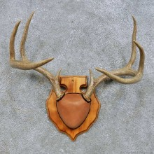 Whitetail Deer Antler Plaque Mount For Sale #14662 @ The Taxidermy Store