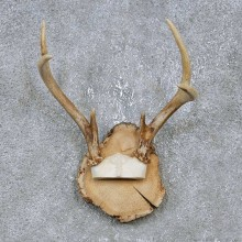 Whitetail Deer Antler Plaque Mount For Sale #14737 @ The Taxidermy Store