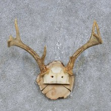 Whitetail Deer Antler Plaque Mount For Sale #14739 @ The Taxidermy Store