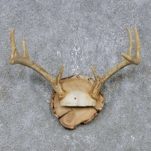 Whitetail Deer Antler Plaque Mount For Sale #14741 @ The Taxidermy Store