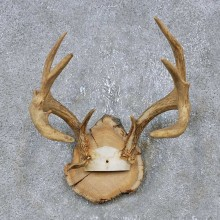 Whitetail Deer Antler Plaque Mount For Sale #14742 @ The Taxidermy Store