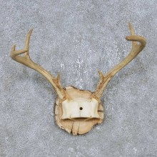 Whitetail Deer Antler Plaque Mount For Sale #14744 @ The Taxidermy Store
