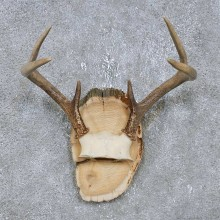 Whitetail Deer Antler Plaque Mount For Sale #14745 @ The Taxidermy Store