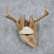 Whitetail Deer Antler Plaque Mount For Sale #14746 @ The Taxidermy Store