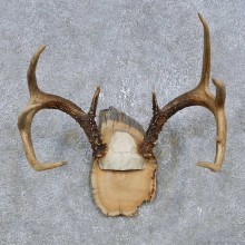 Whitetail Deer Antler Plaque Mount For Sale #14747 @ The Taxidermy Store