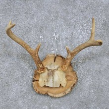 Whitetail Deer Antler Plaque Mount For Sale #14748 @ The Taxidermy Store