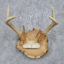 Whitetail Deer Antler Plaque Mount For Sale #14750 @ The Taxidermy Store