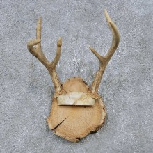 Whitetail Deer Antler Plaque Mount For Sale #14751 @ The Taxidermy Store