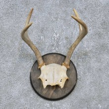 Whitetail Deer Antler Plaque Mount For Sale #14752 @ The Taxidermy Store