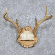 Whitetail Deer Antler Plaque Mount For Sale #14753 @ The Taxidermy Store