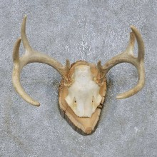 Whitetail Deer Antler Plaque Mount For Sale #14755 @ The Taxidermy Store