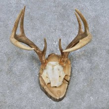 Whitetail Deer Antler Plaque Mount For Sale #14756 @ The Taxidermy Store