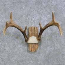 Whitetail Deer Antler Plaque Mount For Sale #14758 @ The Taxidermy Store