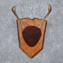 Whitetail Deer Antler Plaque Mount For Sale #14764 @ The Taxidermy Store