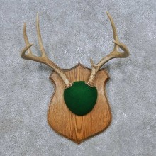 Whitetail Deer Antler Plaque Mount For Sale #14766 @ The Taxidermy Store