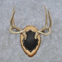 Whitetail Deer Antler Plaque Mount For Sale #14768 @ The Taxidermy Store