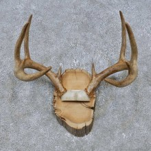 Whitetail Deer Antler Plaque Mount For Sale #14772 @ The Taxidermy Store