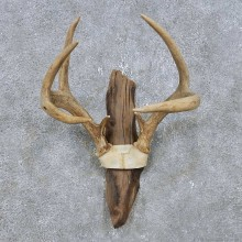 Whitetail Deer Antler Plaque Mount For Sale #14775 @ The Taxidermy Store