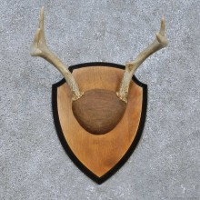 Whitetail Deer Antler Plaque Mount For Sale #15068 @ The Taxidermy Store