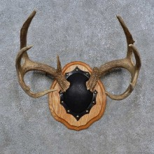 Whitetail Deer Antler Plaque For Sale #15233 @ The Taxidermy Store
