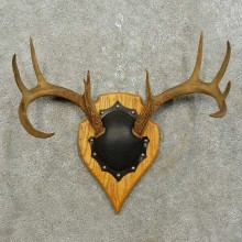Whitetail Deer Antler Plaque Mount For Sale #15855 @ The Taxidermy Store