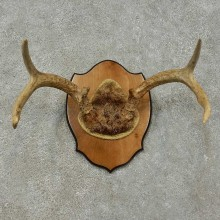Whitetail Deer Antler Plaque For Sale #16271 @ The Taxidermy Store