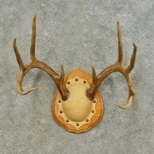 Whitetail Deer Antler Plaque Mount For Sale #16467 @ The Taxidermy Store