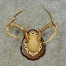 Whitetail Deer Antler Plaque Mount For Sale #16468 @ The Taxidermy Store