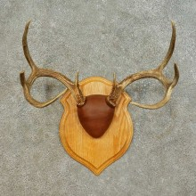 Whitetail Deer Antler Plaque Mount For Sale #16471 @ The Taxidermy Store
